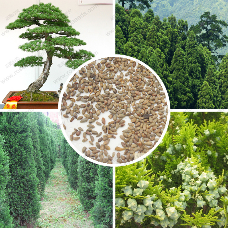 Evergreen trees cypress seeds DIY Home bonsai tree platycladus orientalis seeds 100 % true tree seeds 100 PCS / Bag(China (Mainland))
