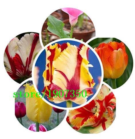 100pcs/bag Bonsai Tulip Seeds 500 Varieties Rainbow Black Purple Yellow Blue Tulip Flower Seeds Potted Plants(China (Mainland))