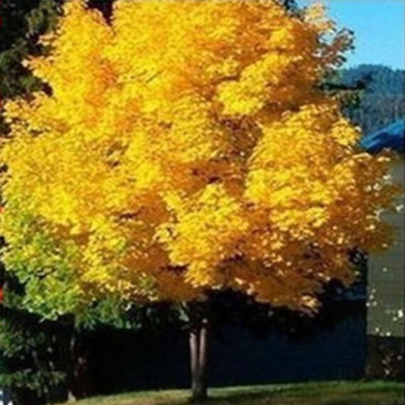 online kaufen gro handel gold ahornbaum aus china gold. Black Bedroom Furniture Sets. Home Design Ideas