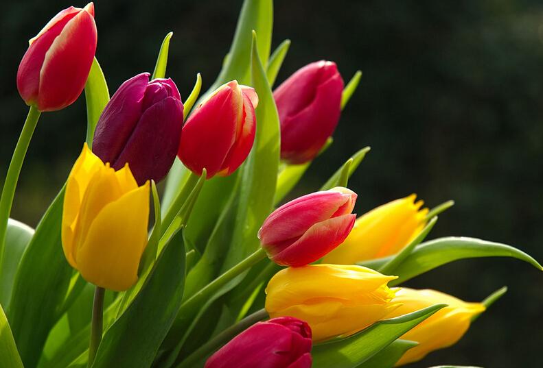 Tulip seeds tulip flowers beautiful tulip 24 varieties can pick 100 seeds