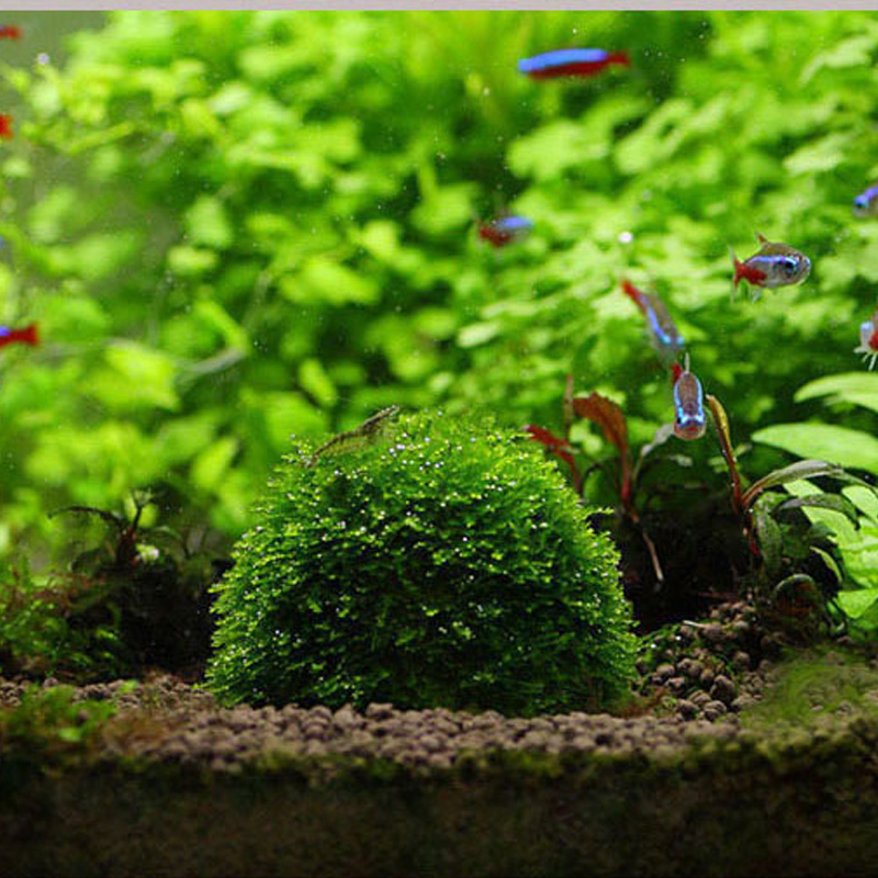 Buy natural mineral aquatic moss ball for for Moss balls for fish tanks