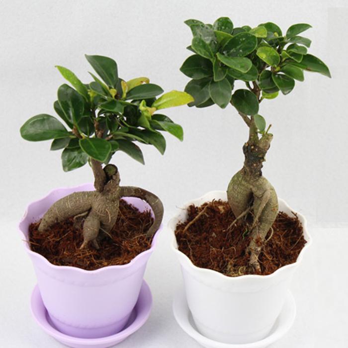 Mini Plant Flowers Small Banyan Banyan Tree Seedlings