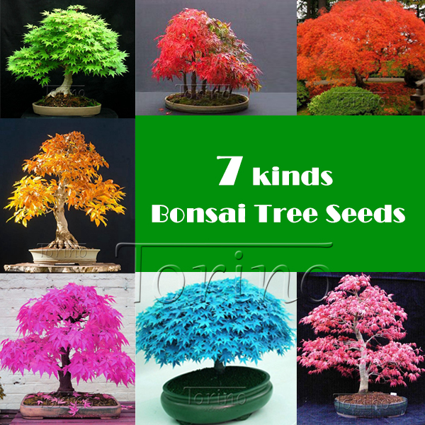 50 Pcs -8 kinds Rare Japanese Maple Seeds,Bonsai Tree Seeds,potted plants + rose gift, suit for DIY Home Garden, Free Shipping(China (Mainland))