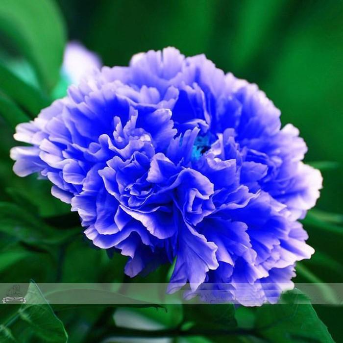 Double Light Blue Tree Peony Seeds, 'Noble' Rare Peony Tree Plant,1 Seeds / Pack(China (Mainland))