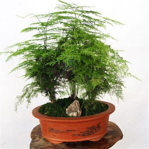 Indoor pianta di bamb acquista a poco prezzo indoor for Bambu in vaso prezzo