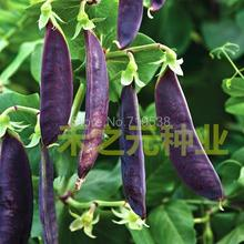 Purple sweet pea seed seed peas green beans green beans purple beans lentils non Meidou 10 seeds(China (Mainland))