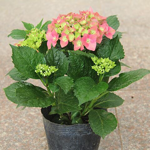 Home plant seeds Hydrangea flower, mixed color flower 30 particles - Love life family store