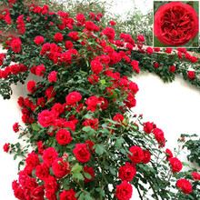 Flowers seed for garden Climbing Rose 20pcs floer GREAT PROMOTION Plants planters Bonsai(China (Mainland))