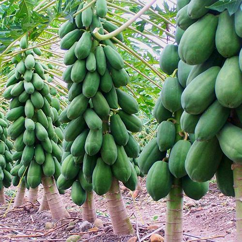 plantas de jardim lista:Florida Fruit Trees Papaya Seeds