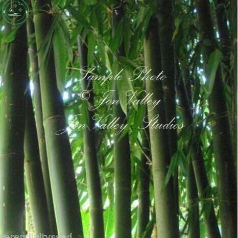 Ingrosso di alta qualit giant pianta di bamb da for Semi di bambu