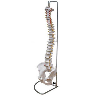 Human spine model life size adult belt cervical spine model skeleton model(China (Mainland))