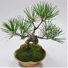 Hot selling 30pcs/lot Japanese black pine seed Hardy species green bonsai plant seeds DIY home garden free shipping(China (Mainland))