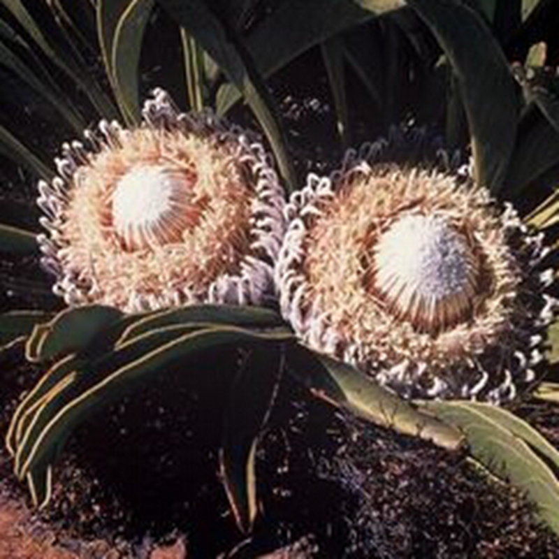 2Seed/Bag Protea Cryophylla Seed Protea Seed South Africa's National Flower King Protea Seed Cherish The Flower Varieties(China (Mainland))