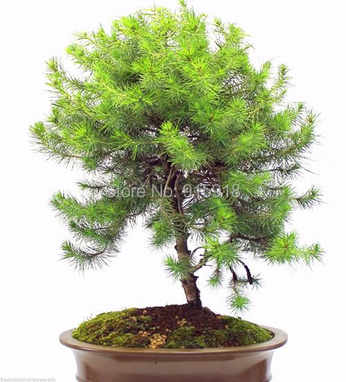 Popular stone bonsai tree buy cheap stone bonsai tree lots for Bonsai italia