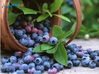 100 Organic Highbush Blueberry Blueberries Seeds