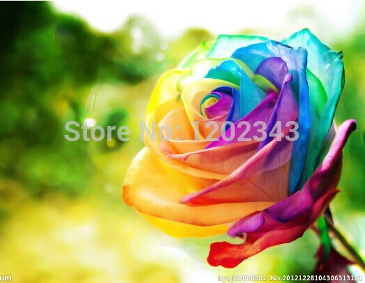 (NOW BUY ONE GET ONE FREE ,YOU WILL GET DOUBLE ) 100 Seeds Rare Holland Rainbow Rose Flower Seed To Your Lover ITEM LABEL:ROSE9(China (Mainland))