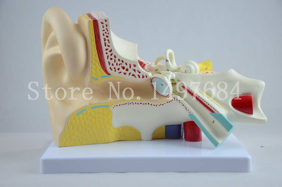 Free Shipping 6 x magnification ear model 3 parts. The ear anatomic model<br><br>Aliexpress