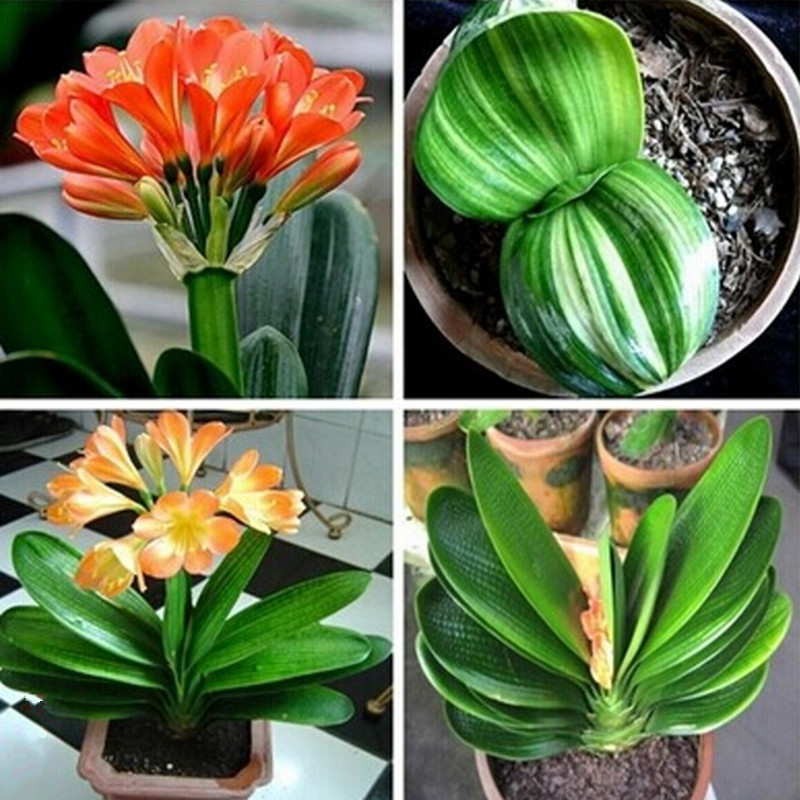 Clivia seeds,cheap Clivia potted seed,Bonsai balcony flower for home&garden free shipping 10 piece/pack(China (Mainland))
