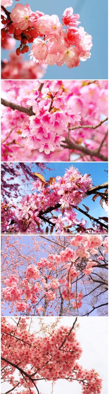 10PCS rare sakura seeds bonsai flower Cherry Blossoms Tree plants for home garden flower seed(China (Mainland))