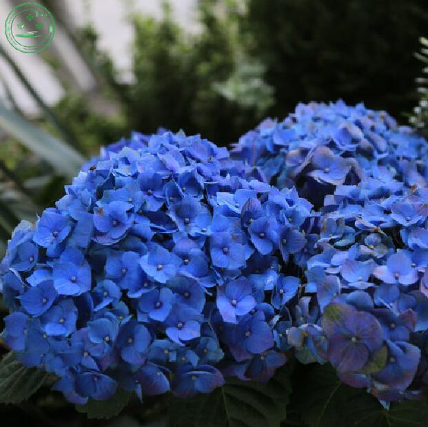 online kaufen gro handel topf blau hortensien aus china. Black Bedroom Furniture Sets. Home Design Ideas