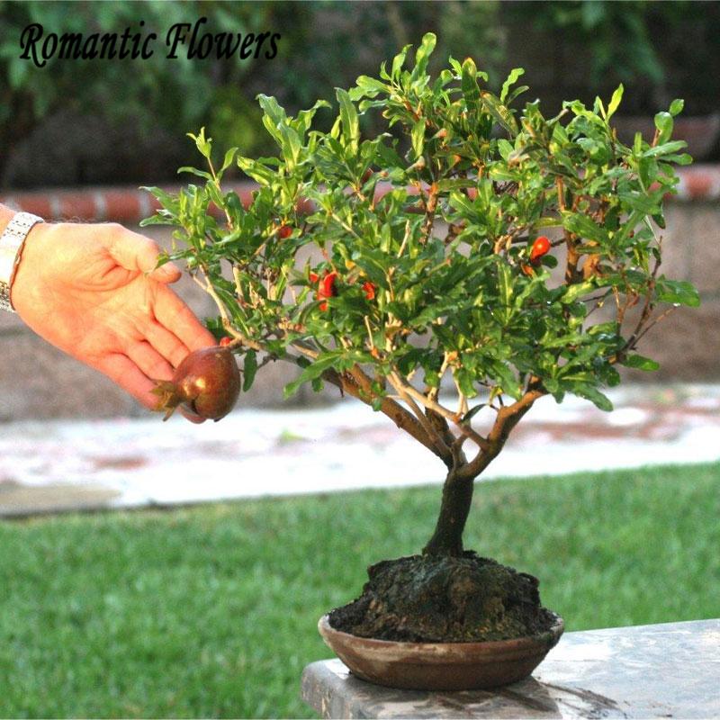 Japanese Bonsai Dwarf Pomegranate Seeds, Flowering Fruit Tree, Office Decor , 10 Particle/bag(China (Mainland))