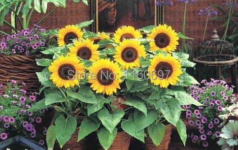 100pcs/bag sementes de flores Home Decoration Garden Bonsai Dwarf Sunflower Seeds Free shipping Four Season Sun flower seeds(China (Mainland))