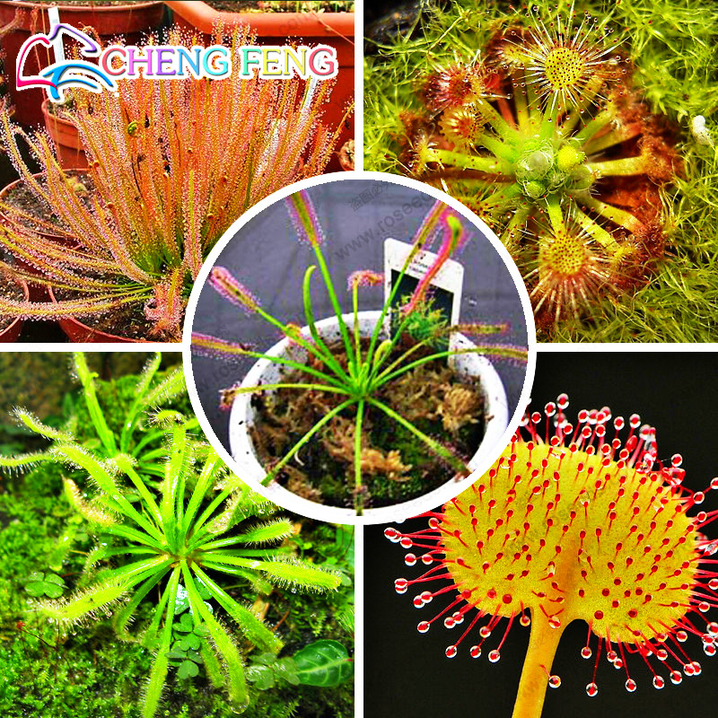 Garden Plant 100 Pcs / Pack Potted Insectivorous Plant Seeds Dionaea Seeds Muscipula Giant Clip Venus Flytrap Seeds Carnivorous(China (Mainland))