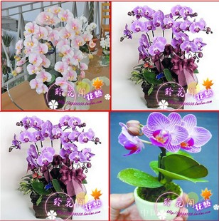 hydroponic orchid seeds,indoor flowers bonsai four seasons,Phalaenopsis Orchids - 50 pcs seeds(China (Mainland))