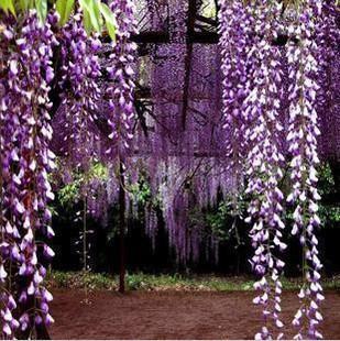 wisteria flower seeds Fujimoto 100 pcs