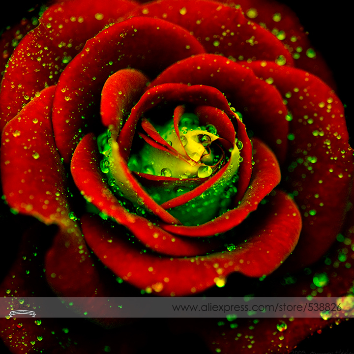 Heirloom Big Blooming Red Green Rose Bush Flower Seeds, Professional Pack, 50 Seeds / Pack, Strong Fragrant Climbing Flowers(China (Mainland))
