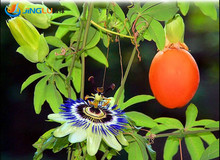 20 Banana Passion Fruit Seeds -passiflora Mollisima~special