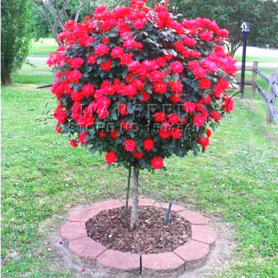 50 Red Rose tree Seeds, DIY Home Garden Potted ,Balcony & Yard Flower Plant Free Shipping(China (Mainland))