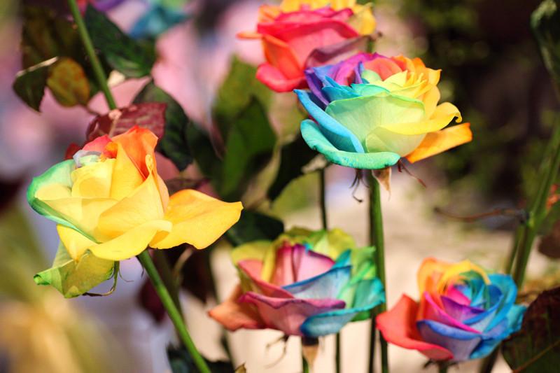 how to start rainbow rose seeds