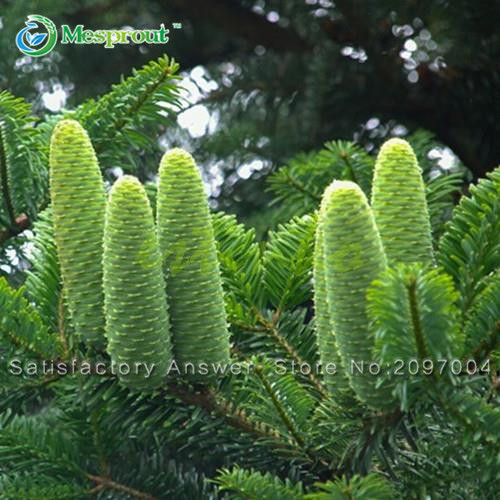 Promotion Japanese Fir Seeds 10PCS Abies Tree Seeds Foliage Plants for Garden Bonsai Tree Seeds Cold-resistance Free Shipping(China (Mainland))