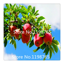 Red Apple Seeds Very Fresh Fruit Seeds Rare Mini Apple Bonsai Tree for Flower 100% Rreal Seeds 30 pcs / bag(China (Mainland))