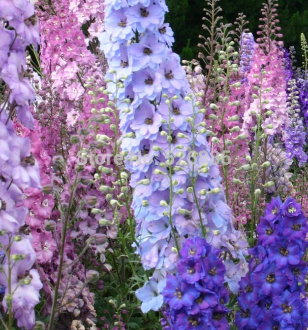 100% Genuine 100 Seeds/bag mixed delphinium Chardonnay seed, rocket consolida flower seeds, Bright colors for home garden(China (Mainland))