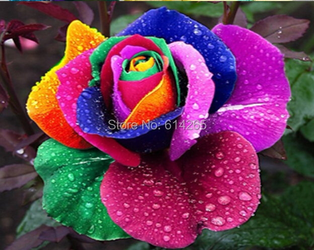 200pcs pack 9 colors rose seeds blue red purple pink black - Plants with blue flowers a splash of colors in the garden ...