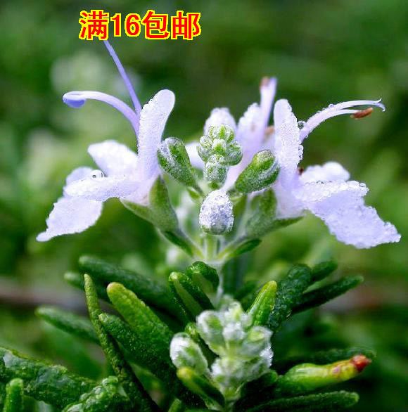 20 seeds/pack imported edible herb rosemary seeds home garden seed beauty, bathing, cooking flower pots planters flower seeds(China (Mainland))