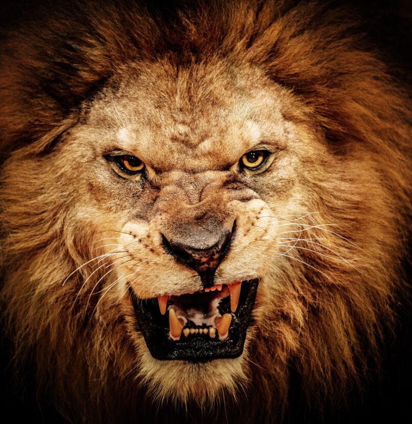 Angry Lion Artwork