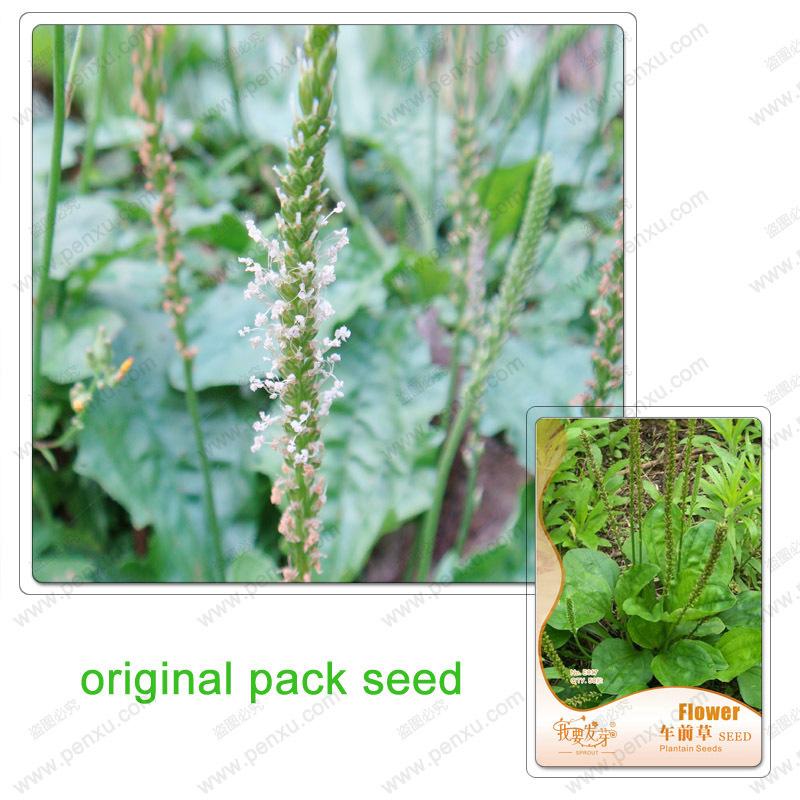 Original Pack 50 Seeds / Pack, Plantago seeds, is unique ornamental grasses, herbal plant seeds(China (Mainland))