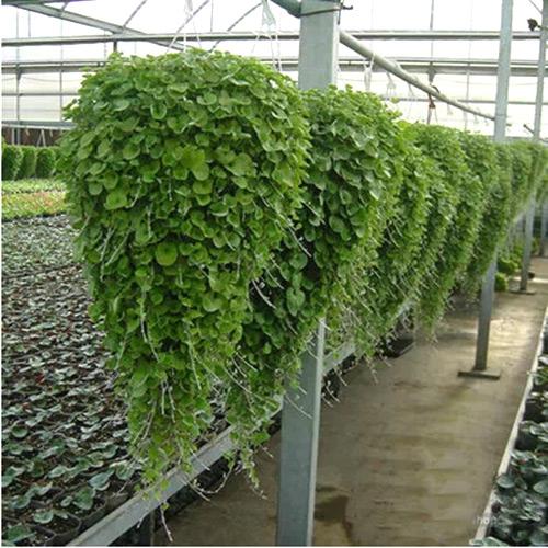 Hot Selling 10Pcs Horseshoe Gold Chlorophytum Seeds Jade Small Money Grass Seeds DIY Home Garden Decoration(China (Mainland))