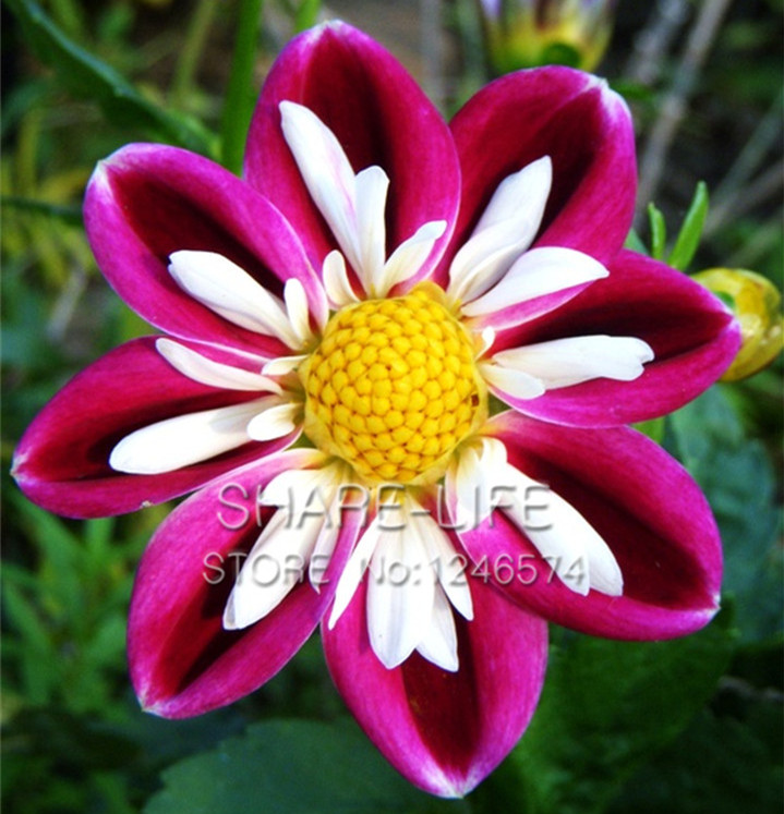 what are perennial flowers  flower, Beautiful flower