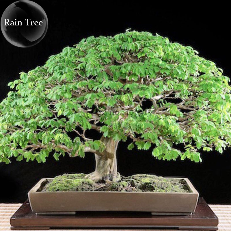 Rare Outdoor Sybian Rain Silk Tree, 10 Seeds, albizzia julibrissin only for outdoor E3809(China (Mainland))