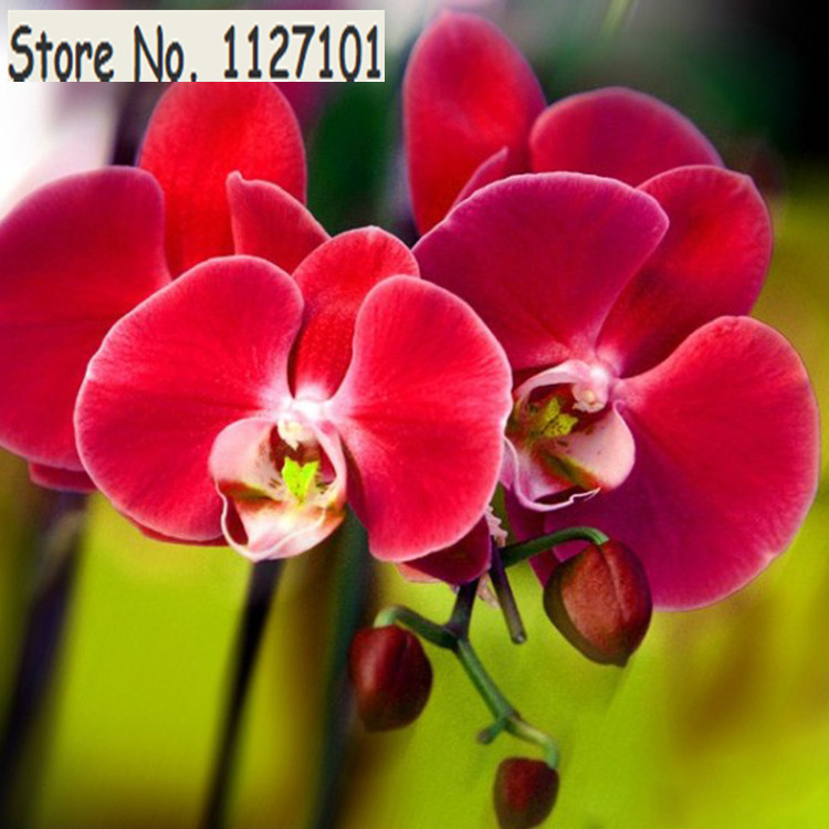 Unique Red Phalaenopsis Bonsai Butterfly Orchid Flower Seeds Elegant Flower Plant Ornamental flowers Garden - 200 PCS(China (Mainland))