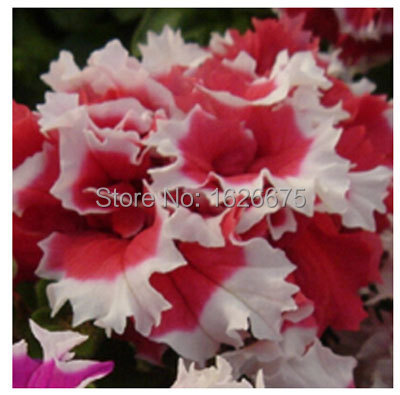 Petunia Petals Annuals Four Seasons Can Be Planted 10 Kinds of Colors This Is 100 Correct