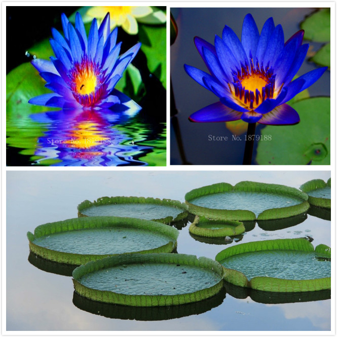 Popular water pond plants buy cheap water pond plants lots for Cheap pond plants