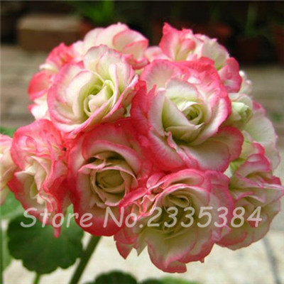 2016 Loss Promotion Fresh Geranium seeds Purifying air flower plants for home Garden bonsai flowers seeds 120 pcs(China (Mainland))