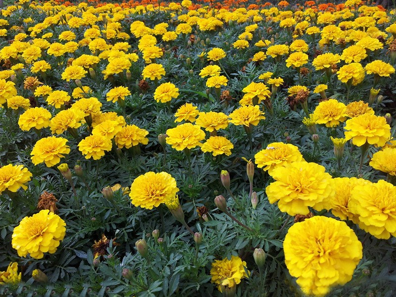 100 pcs Hot Sale Maidenhair Yellow Seeds Flower Seeds Potted Herb Garden Marigold Chrysanthemum Bonsai Seeds