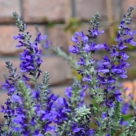 Sage seeds, Chia Bonsai flower seeds Salvia japonica 50 particles - Love green store