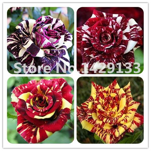 Strip Shrub Rose Flower Seeds 200PCS Rare Bush Rose Flower seeds Yello Red Pink Purple Garden Bonsai Exotic Plant Free shipping(China (Mainland))